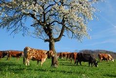 Vacas de leiteria Fotos de Stock