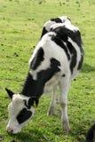 Vacas de leiteria Fotografia de Stock Royalty Free