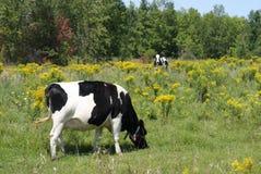 Vacas de leiteria Imagens de Stock Royalty Free