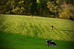 Vacas de leiteria Imagem de Stock