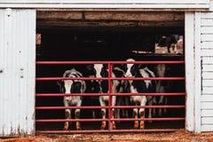 Vacas de leiteria atrás de uma cerca vermelha Imagens de Stock