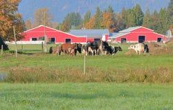Vacas de leiteria de Hereford e exploração agrícola moderna foto de stock