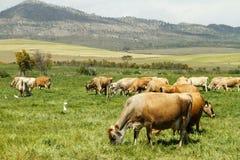 Vacas de leiteria livres de Jersey da escala em uma exploração agrícola Foto de Stock Royalty Free