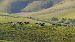 Vacas de leiteria na exploração agrícola filme