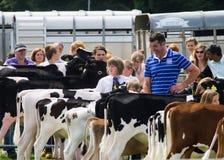 Vacas de leiteria na mostra 2011 de Cartmel Fotografia de Stock
