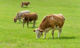 Vacas de leiteria no pasto, Áustria fotografia de stock royalty free