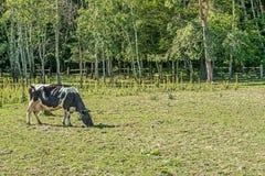 Vacas de leiteria preto e branco que pastam no local para vacas do verão no intervalo de Mezhyhirye perto de Kiev fotografia de stock