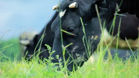 Vacas de leiteria que pastam Gado no campo Vaca de leiteria que come a grama Rancho de gado filme