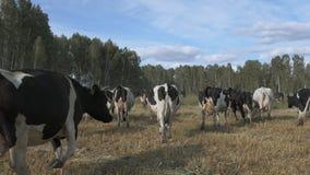 Vacas de leiteria que pastam no campo e que comem a grama filme