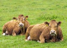 Vacas de Lemosín Imagen de archivo libre de regalías