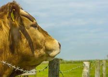 Vacas de Lemosín Fotografía de archivo