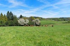 Vacas de Lemosín en Francia Fotografía de archivo libre de regalías