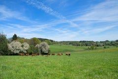 Vacas de Lemosín en Francia Imagenes de archivo