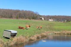 Vacas de Lemosín en paisaje Imagen de archivo libre de regalías