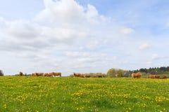 Vacas de Lemosín en paisaje Imagenes de archivo