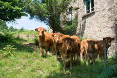 Vacas de Lemosín en campos Foto de archivo