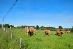 Vacas de Limousin na paisagem Imagens de Stock
