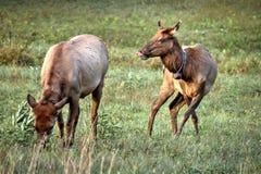 Vacas de los alces en el parque nacional de Great Smoky Mountains Imagen de archivo libre de regalías