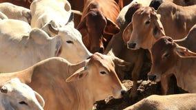 Vacas de los ganados vacunos del brahmán en plumas de la yarda de la venta almacen de video