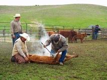 Vacas de marcado en caliente Imagen de archivo