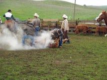 Vacas de marcado en caliente Fotografía de archivo