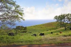 Vacas de Maui foto de archivo