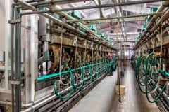 Vacas de ordeño de Pasillo en una granja lechera foto de archivo