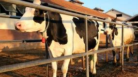 Vacas de ordenha em uma exploração agrícola de leiteria Fotos de Stock Royalty Free