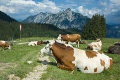 Vacas de reclinación en Austria Fotografía de archivo