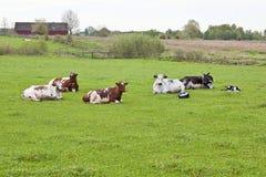 Vacas de reclinación en el campo Fotografía de archivo