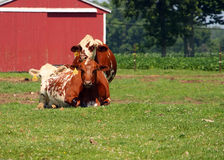 Vacas de relajación Fotografía de archivo libre de regalías