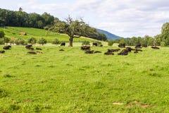 Vacas de relajación   Imagen de archivo libre de regalías