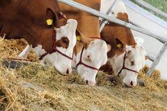 Vacas de Thre que comen el heno Imagen de archivo