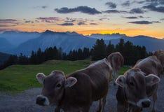 Vacas de Tyrolian en el ocaso en un pico de montaña Imagen de archivo libre de regalías