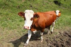 Vaca italiana em uma exploração agrícola foto de stock