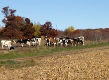 Vacas de una Holstein del grupo oh Imagen de archivo libre de regalías