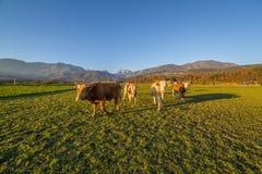Vacas debajo de las montañas eslovenas Fotografía de archivo