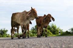 Vacas del ángulo bajo en el camino Fotos de archivo libres de regalías