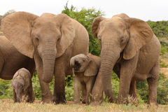 Vacas del elefante africano con el becerro Imágenes de archivo libres de regalías