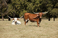 Vacas del fonolocalizador de bocinas grandes en un campo fotos de archivo