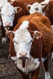 Vacas del ganado de Hereford Imagenes de archivo