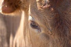 Vacas del ojo Imagenes de archivo