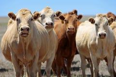 Vacas del país con actitud Fotografía de archivo libre de regalías