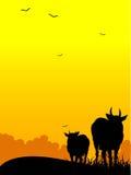 Vacas derechas del animal doméstico Foto de archivo