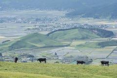 Vacas derechas en pasto Fotos de archivo libres de regalías