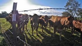 Vacas detrás de la cerca fotografía de archivo