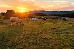 Vacas detrás de una puesta del sol ardiente del cielo Foto de archivo