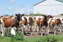 Vacas do Ayrshire na jarda de celeiro S/W Ontário Fotos de Stock Royalty Free
