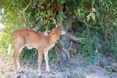 Vacas do bebê fotografia de stock