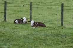 Vacas do bebê Foto de Stock